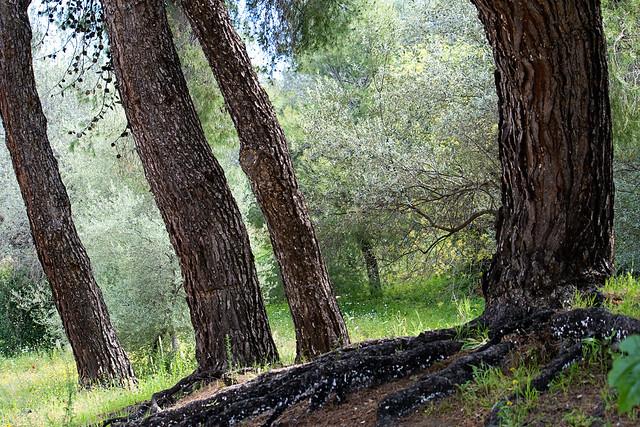 epidavros - tree1