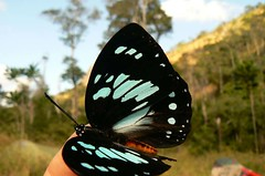 Euxanthe wakefieldii - Mt. Inago, Mozambique