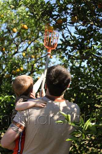Picking Florida Oranges-8