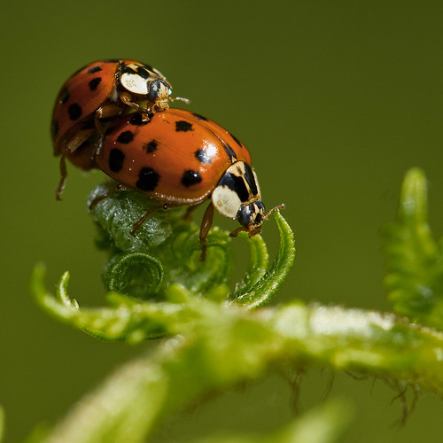 Coccinelles asiatiques (Harmonia axyridis) asian Lady Beetles mating