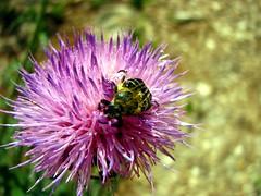 Texas Hairy Flower Scarab