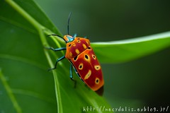 [Cantao ocellatus] (necydalis) Tags: red macro green nature leaves japan bug insect island japanese leaf nikon vivid kagoshima shield 90mm vr afs coleoptera amami oshima micronikkor hemiptera scutelleridae d700 tamuron 105f28g mygearandme mygearandmepremium vpu1 peregrino27macro vigilantphotographersunite vpu2 vpu3 vpu4 vpu5 vpu6 vpu7 vpu8 vpu9 vpu10