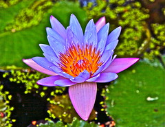 Water Lily.   jardin botanico ,EL SALVADOR (morito36pa) Tags: flowers flores waterlily elsalvador jardinbotanico ninfas lalibertad antiguocuscatlan morito36pa moisesrivas jardinbotanicoantiguocuscatlan