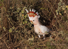 Major Mitchell's Cockatoo (Greg Miles) Tags: australia hungerford queensland majormitchellscockatoo lophochroaleadbeateri
