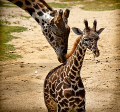 A Mother's Love Is Like No Other (Scott Smith (SRisonS)) Tags: baby love zoo virginia touch norfolk mother va giraffes mothersday gentle virginiazoologicalpark