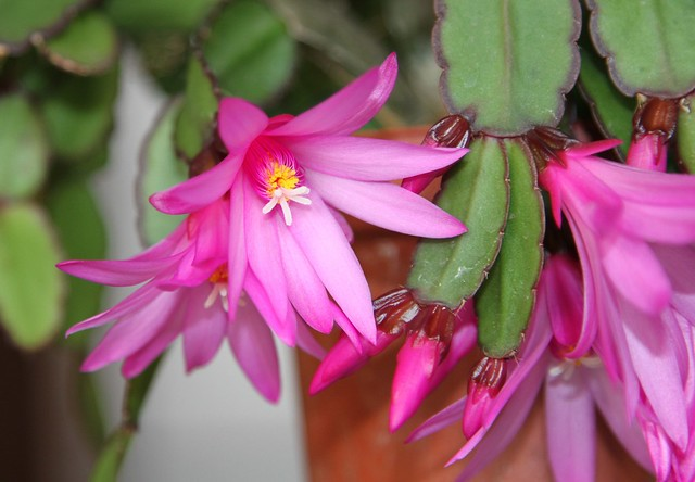 Hatiora gaertneri = Rhipsalidopsis gaertneri (Easter Cactus)