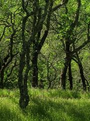 Sonoma trees