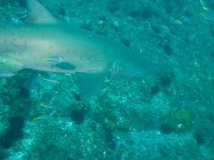 Grey Nurse Shark Freckles (Jane | Shipwrecks and Sharks) Tags: diving southwestrocks greynurseshark fishrock canong11