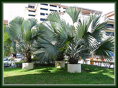 Bismarckia nobilis (Bismarck Palm, Bismark Palm) in large concrete containers, seen at Hospital UKM