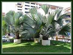 Bismarckia nobilis (Bismarck Palm, Bismark Palm) in large concrete containers, seen at Hospital UKM