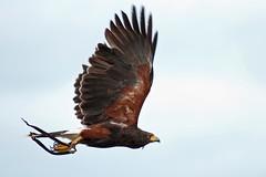 Harris Hawk -SMP_5219 (Pothers) Tags: birds pentax falconry tamron70300 k20d devoncountyshow
