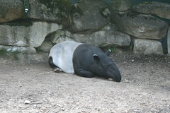 Tapir (Schabrackentapir)