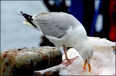 Sorbet  la langoustine. (glemoigne) Tags: port brittany seagull bretagne breizh seabird finistre pche goland leguilvinec paysbigouden penarbed glemoigne gilbertlemoigne