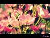 Let me introduce my roses (dClaudio [homofugit]) Tags: flowers red roses colour rose garden nikon little may rosegarden introducing scent d90 mygearandme mygearandmepremium ringexcellence