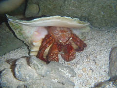Giant Hermit Crab-2