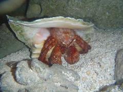 Giant Hermit Crab-2