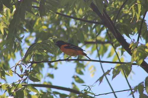 Lincoln Marsh, June 16, 2011: Black-headed Grosbeak?