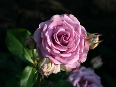 "rose ""Cool water "" (Lyubov) Tags: flowers roses rose coolwater"