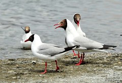 Brown headed Gull (D.N.A.SHINE) Tags: india ladakh pangonglake brownheadedgull larusbrunnicephalus deepaknashine