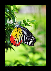 Butterfly [explored] (e.nhan) Tags: flowers light green art nature closeup butterfly colorful colours dof bokeh arts butterflies backlighting enhan