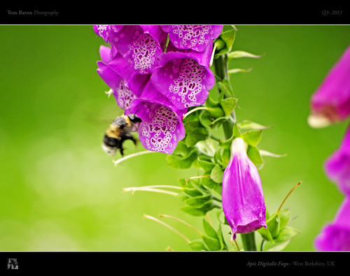 Apis Digitalis Fugo by TomRaven