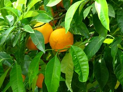 Grapefruit (Conanil) Tags: orange tree verde green folhas fruits leaves fruit foglie hojas groen laub laranja boom fruta rbol citrus grn albero naranja arbre rvore arancio baum feuilles verte oranje obst pamplemousses grapefruits bladeren pomelos agrumes frutto ctrico zitrusfrchte agrume pompelmi agrios