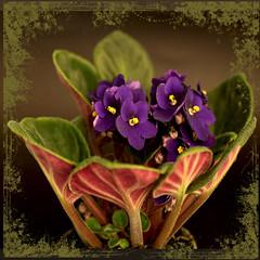 Africana. (Martha MGR) Tags: blue flower nature square violet africanviolet flres mmgr saariysqualitypictures marthamgr magicunicornverybest marthamariagrabnerraymundo marthamgraymundo