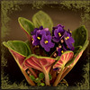 Africana. (Martha MGR) Tags: blue flower nature square violet africanviolet flôres mmgr saariysqualitypictures marthamgr magicunicornverybest marthamariagrabnerraymundo marthamgraymundo