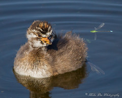 First Encounter (claybuster1(Mike & Doris)) Tags: canon michigan damselfly grebe piedbilledgrebe canon7d