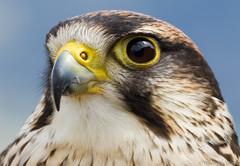 Falco portrait (Glenn van Windt) Tags: aves bird vogel birdofprey roofvogel raptor kestrel valk nature natuur canonef300mmf28lisusm portrait