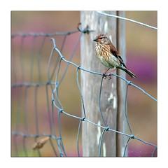 Tte de linotte (Voyage Au del d'un Regard) Tags: linottemlodieuse birds bird oiseau oiseaux passereaux bretagne