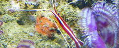 Lysmata grabhami (MaKuriwa) Tags: crustaceos