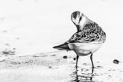 The Sassy Seagull (Capture Lights) Tags: animal bw bird cute eye michigan monochrome nikon sassy seagull