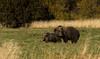 "Kodiak ""cows"" grazing. (rishaisomphotography) Tags: kodiak grizzly brownbear sow cub babyanimal grazing eatinggrass green gold brown furry alaska wild wildlife wildlifephotography nature naturephotographer"