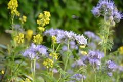 Wild (katrienberckmoes) Tags: wild flowers our garden attract bees phacelia rapeseed wijnegem belgium stillife