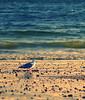 My Adventure (bijoyKetan) Tags: light sunset reflection bird beach water century ma bokeh wave gloucester ketan 100thpost canon85mm18usm bijoyketan