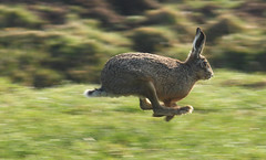 Haas(t) (Pepijn Hof) Tags: eye nature dutch field animal canon hare action wildlife nederland haas zuidholland 300mmf4 haastrecht southholland specanimal 40d onephotoweeklycontest onephotoweeklycontestwinner