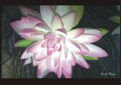 Dália artificial (Roseli Magri) Tags: de plantas fotos e naturais flôres artificiais flôresnaturais flôresartificiais flôreseplantas