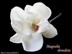 Magnolia denudata  [ Explore - Mar 27, 2011] (Marco Ottaviani on/off) Tags: flowers white nature canon natura vegetable fiori 1001nights bianchi vegetali magnoliaceae mixedflowers magnoliadenudata natureplus photosandcalendar excellentsflowers exquisiteflowers mimamorflowers flickrflorescloseupmacros panoramafotogrfico flickraward greatshotss allegrisinasceosidiventa fleursetpaysages thegalleryofflowerseffe mygearandme marcoottaviani flickrsportal abokehoflight ringexcellence lovelymotherearth