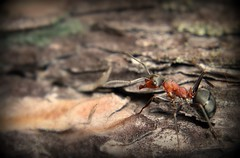 Ants in compost