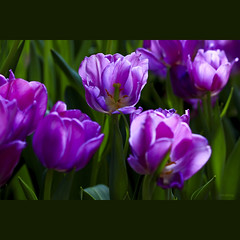 Spring is here (-clicking-) Tags: lighting flowers light green nature floral beautiful closeup garden petals spring flora dof purple natural blossom bokeh tulip bloom lovely springtime tulipa blooming springgarden floralart artflowers bestcapturesaoi elitegalleryaoi