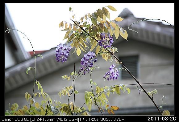 20110326Flower紫藤