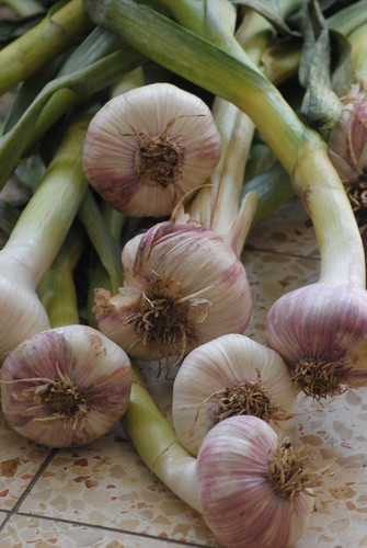 image-fresh-garlic