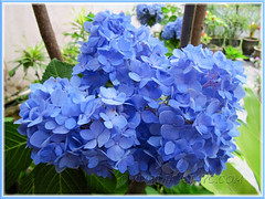 Blue Hydrangea macrophylla 'Endless Summer' blooming so well in March 2011