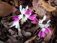 Brachycorythis lastii (zimbart) Tags: africa flowers orchidaceae zimbabwe