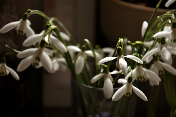 snowdrops from the woods
