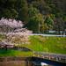 20110410 Sakura 1