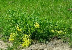 Long-bract Wild Indigo (Baptisia bracteata)