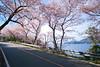 海と桜・Along the Shore-01 (-TommyTsutsui- [nextBlessing]) Tags: pink sea nature japan cherry spring nikon blossom 桜 海 izu 春 伊豆 川 matsuzaki nikkor70300 松崎町 onsalegettyimages