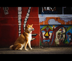 Taking a Break (kaoni701) Tags: sf sanfrancisco street sunset portrait dog sunlight cute art valencia wall japanese prime nikon bokeh suki shibainu shiba 85  85mmf14 d700